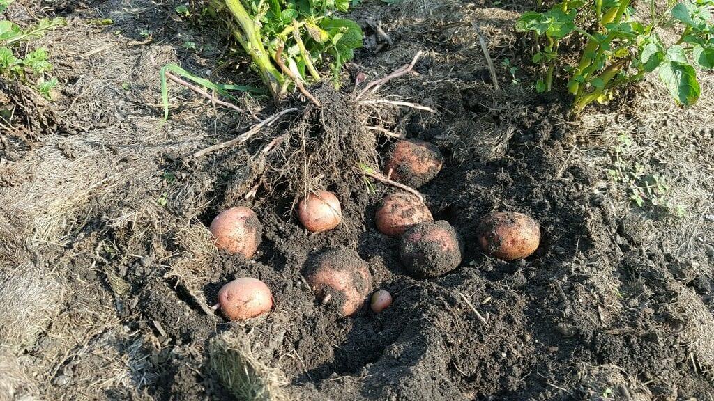 Growing potatoes in the garden